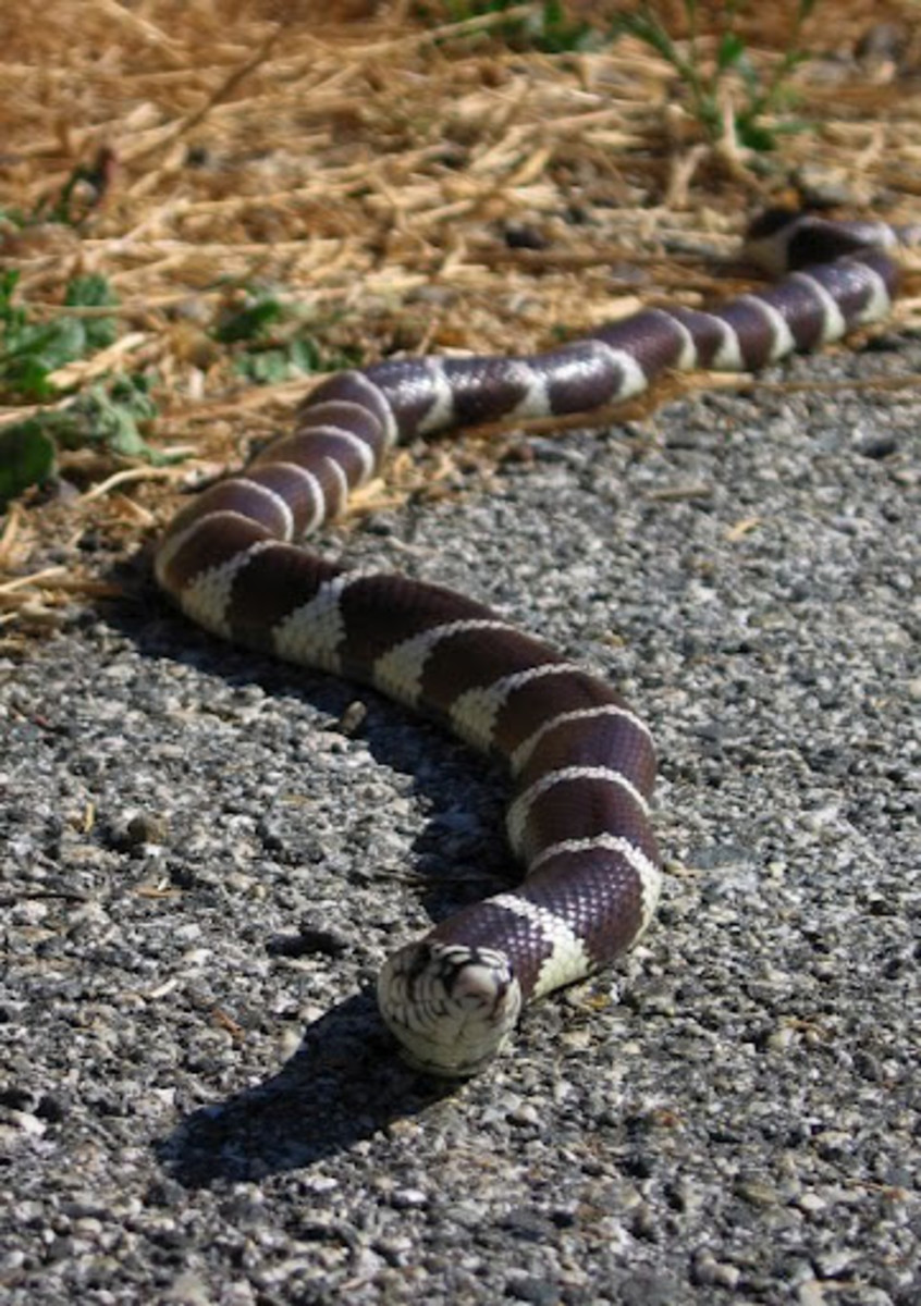 A Hillbilly Guide to Snakes: The California Kingsnake