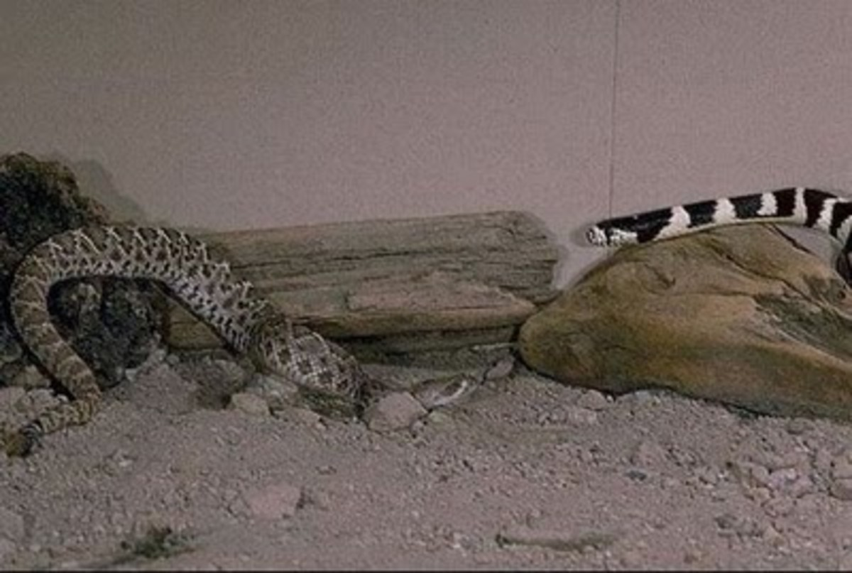 California kingsnake vs rattlesnake. Public Domain.