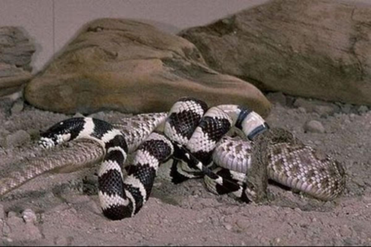 California kingsnake vs rattlesnake. Public Domain.