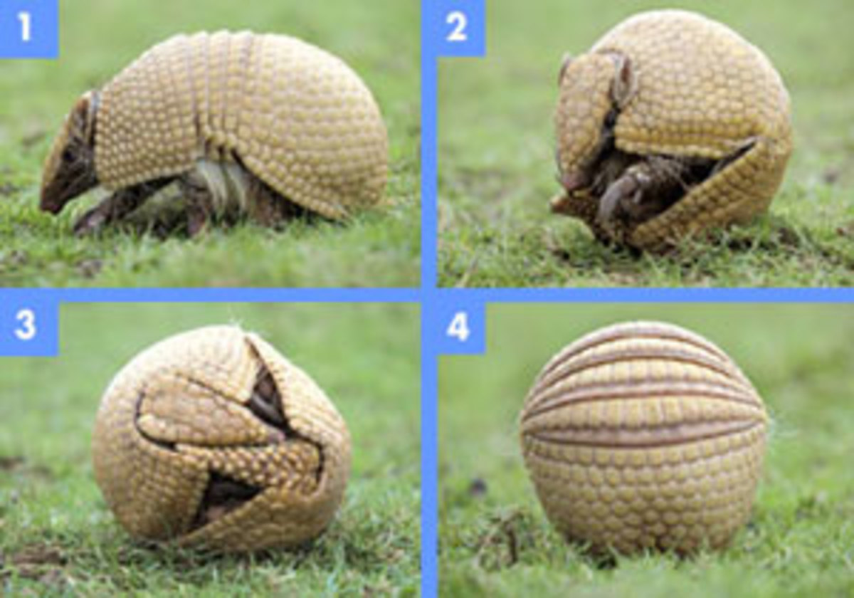 3-Banded Armadillo rolled into a ball to protect it's soft underbelly from predators.