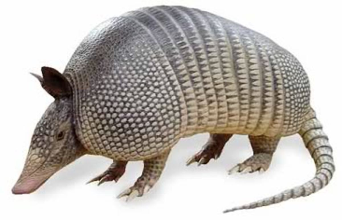 Armadillo -- Official Mascot of Texas