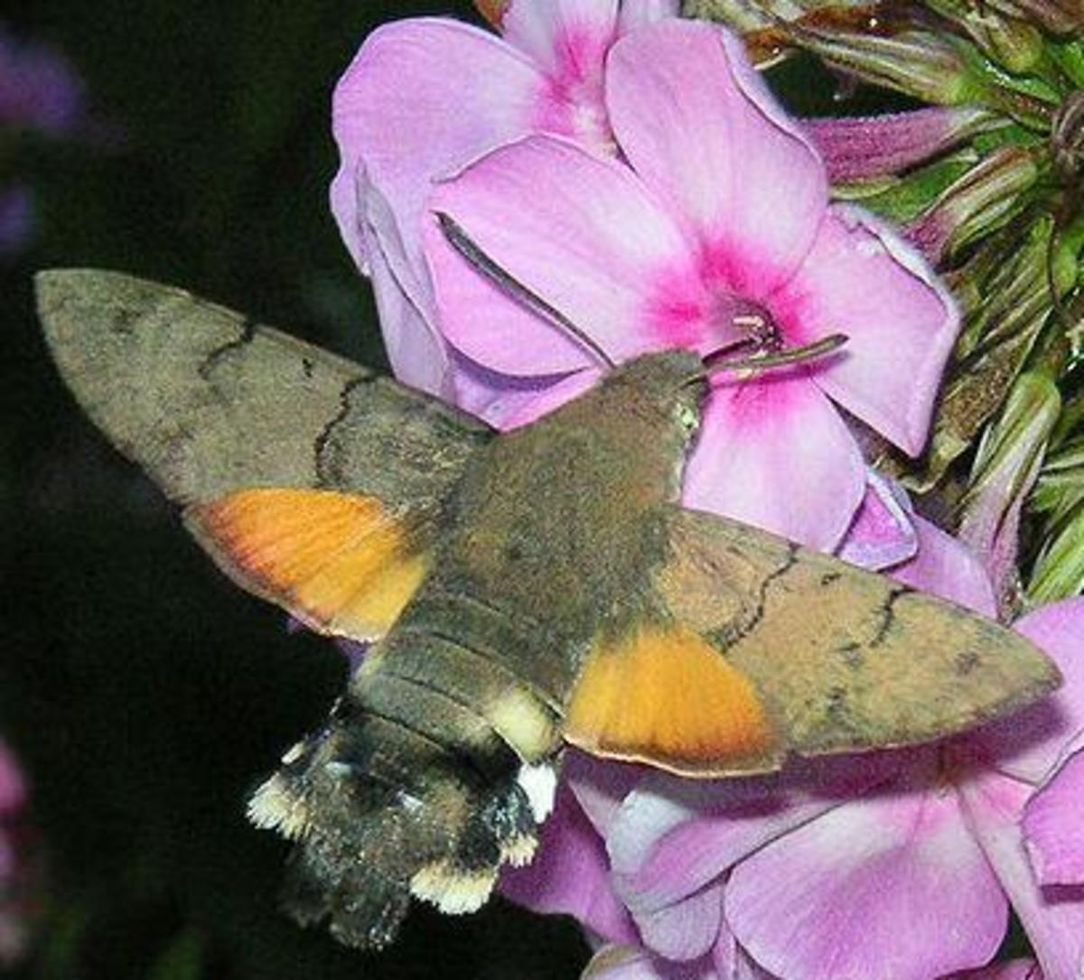 moths-are-way-better-than-butterflies