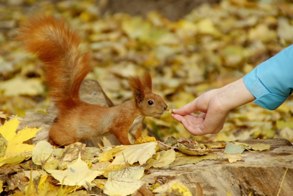 A red squirrel in England. You can tell that this is quite different. They are considered not destructive and should not be trapped.
