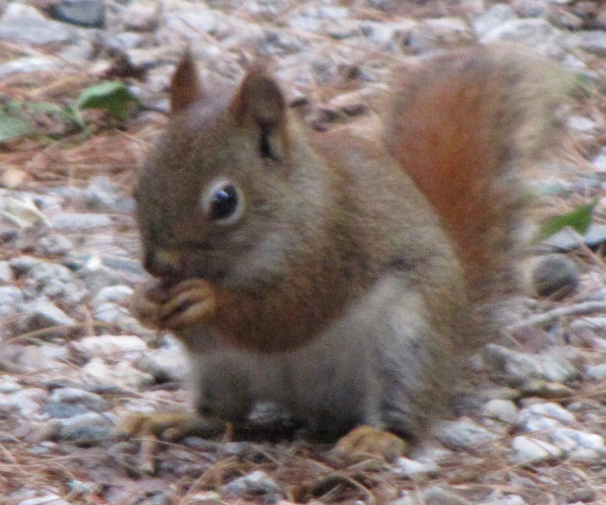 The destructive red squirrel found in the northeastern U.S.  Compare it with the harmless red squirrel found in the U.K. (photo below).