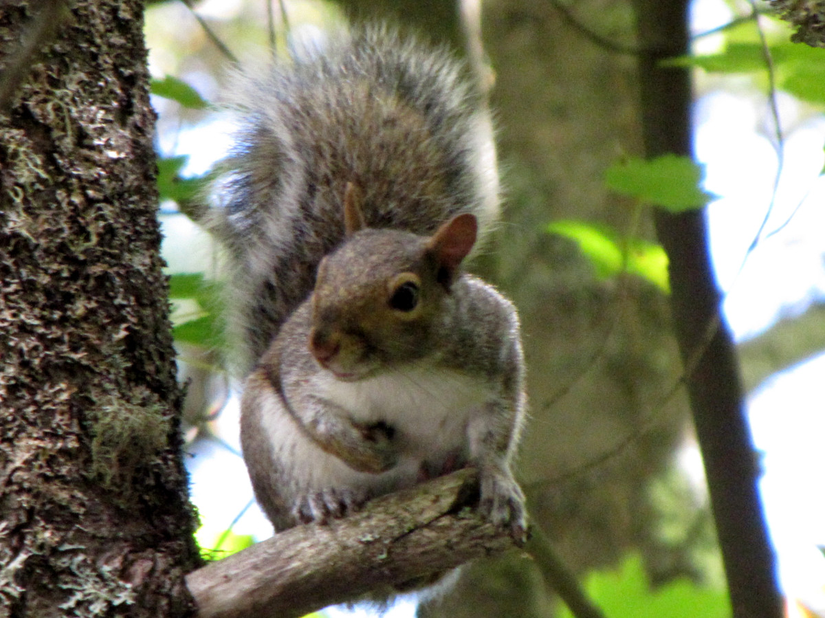 A gray squirrel in the northeastern U.S. Not considered to be as destructive as the U.S. red squirrel, but you wouldn't want them nesting in your attic.