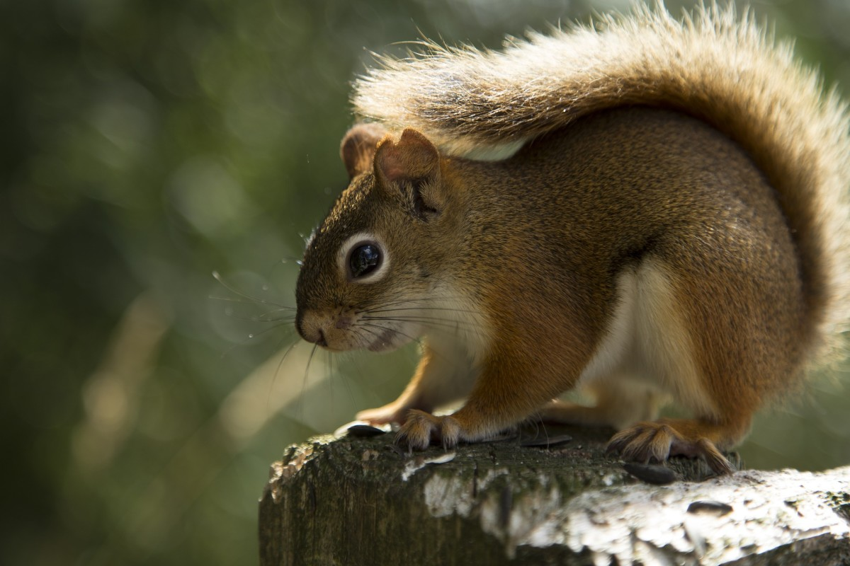 Get Rid of Red Squirrels