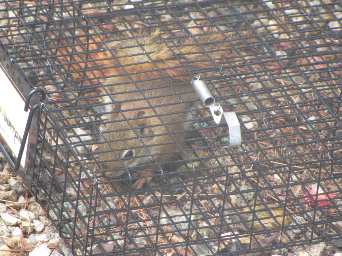 Although this trap is advertised on Amazon for chipmunk trapping, I caught a number of squirrels in mine.