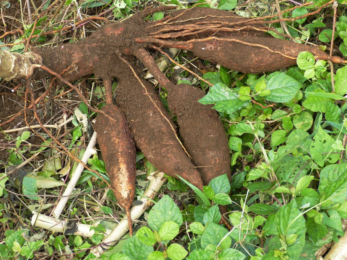Traditionally Prepared Cassava
