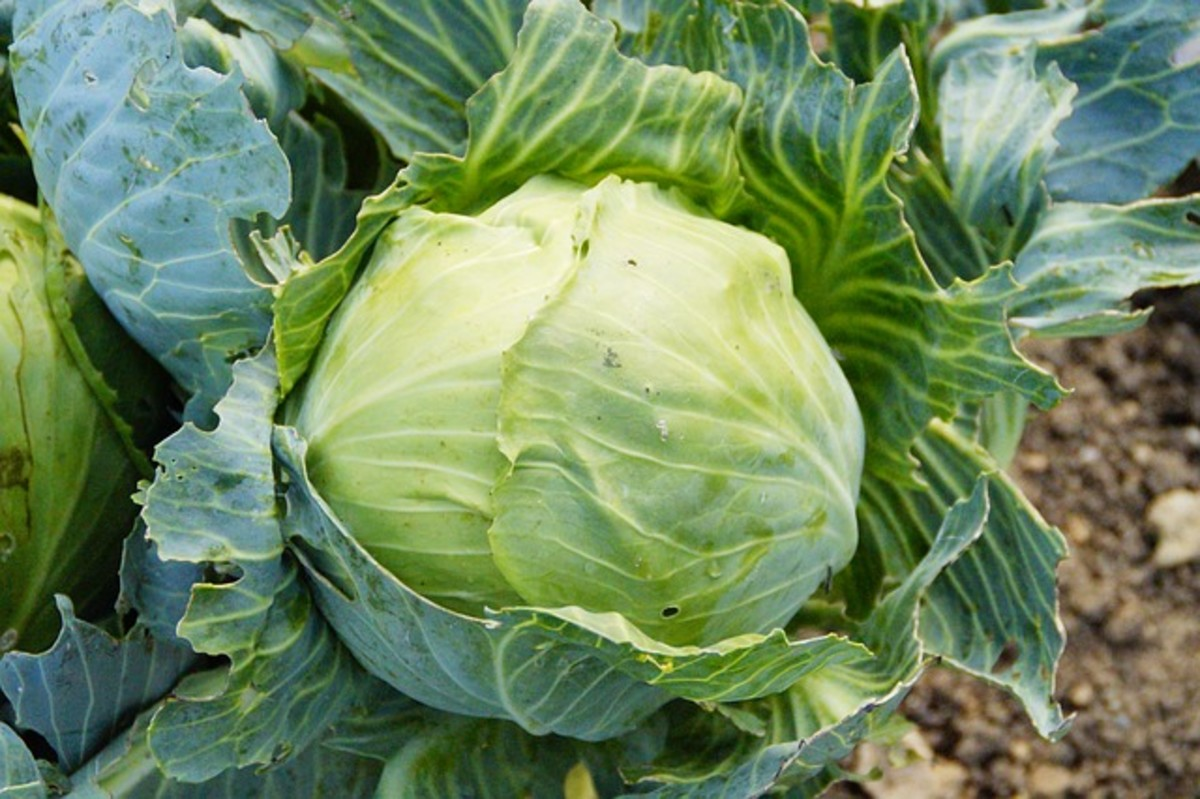 Use fresh cabbage when making The Cabbage Soup Diet.  Also drink plenty of water.