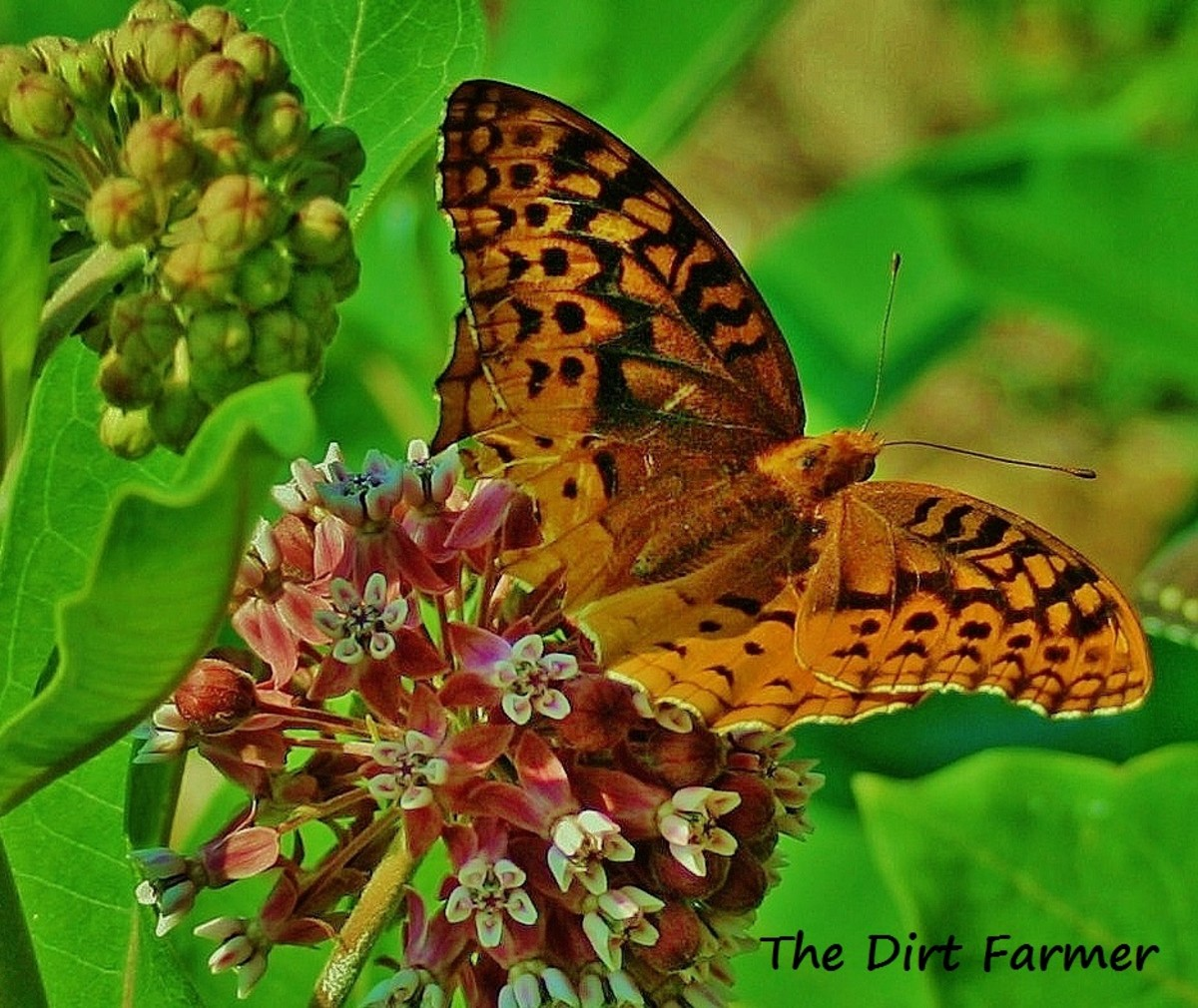 Like Asclepias tuberosa, swamp milkweed (Aesclepias incarnata) is a favorite of butterflies.