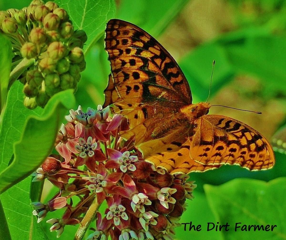 Like Asclepias tuberosa, swamp milkweed (Aesclepias incarnata) is a favorite of butterflies.