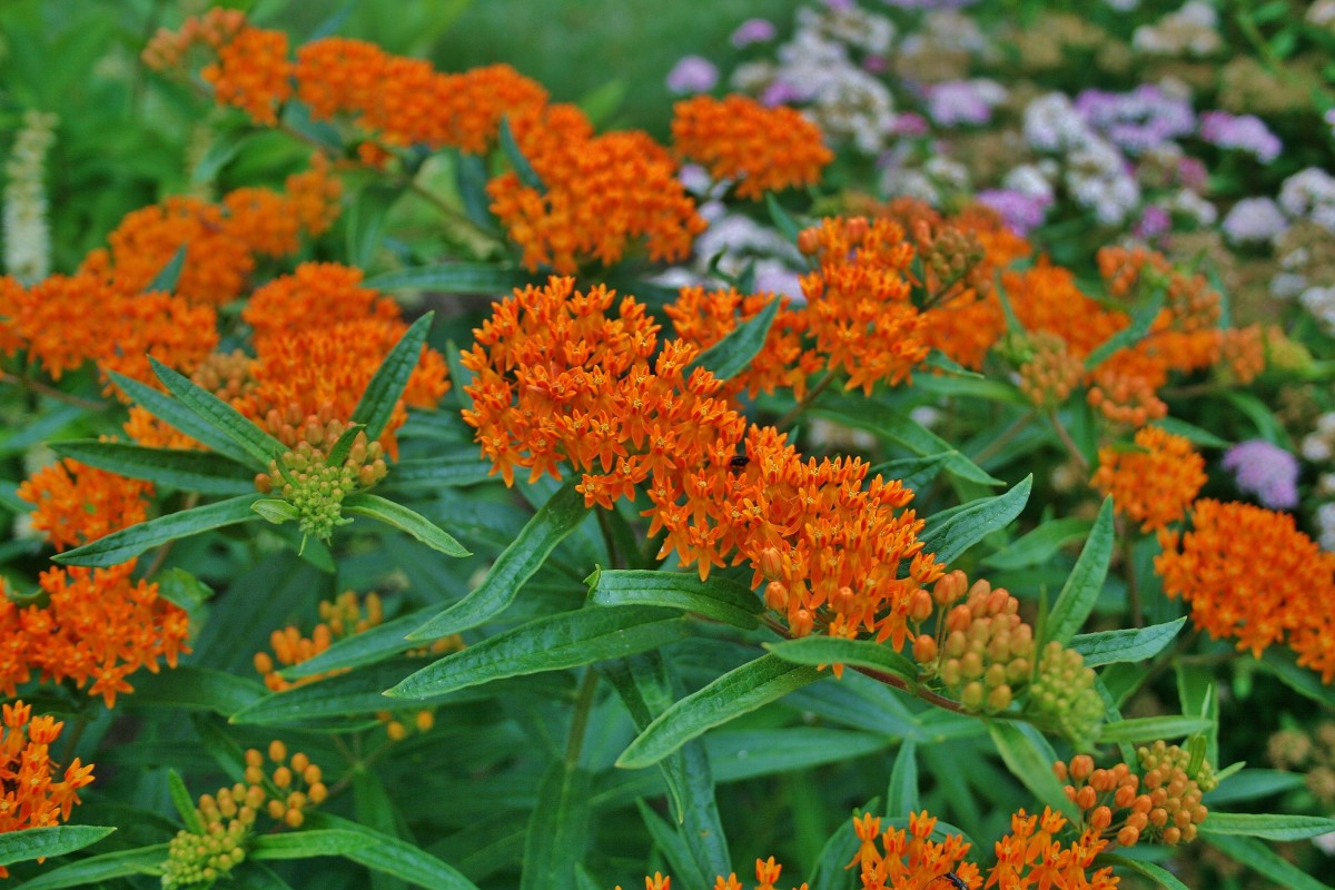 Pollinators love butterfly weed!