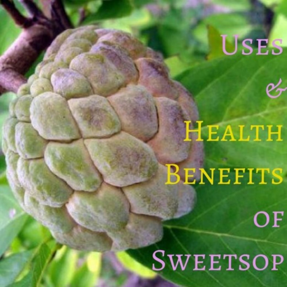 Uses and Health Benefits of Sweetsop or Sugar Apple Fruit Trees