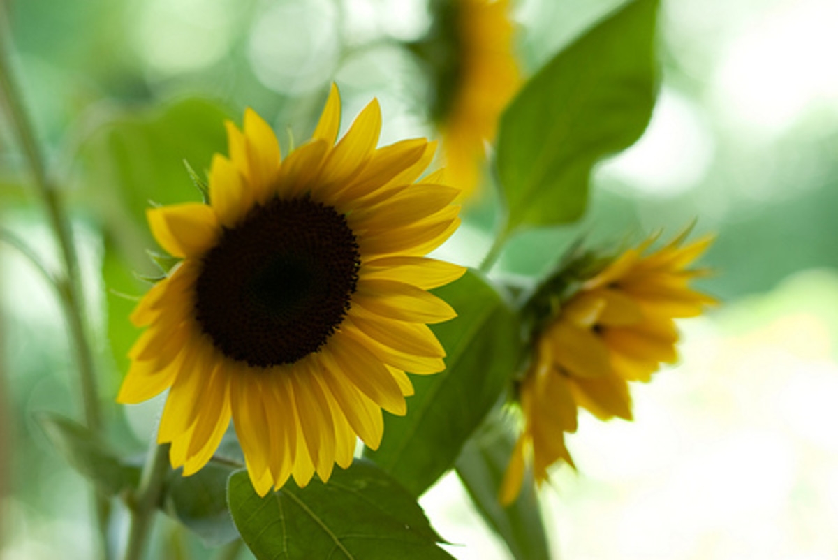 Gain inspiration for your sunflower cards from beautiful photos of sunflowers.
