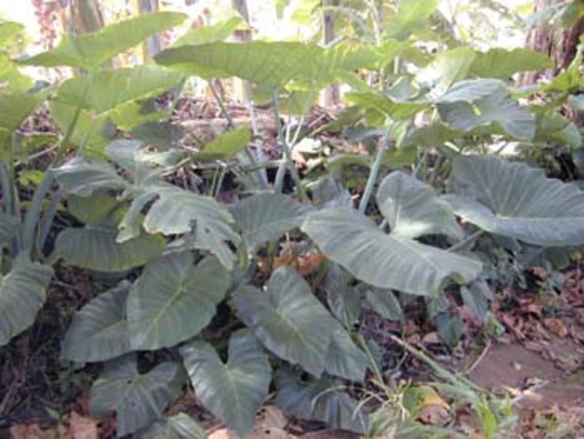 Elephant Ear Plant (Xanthosoma)