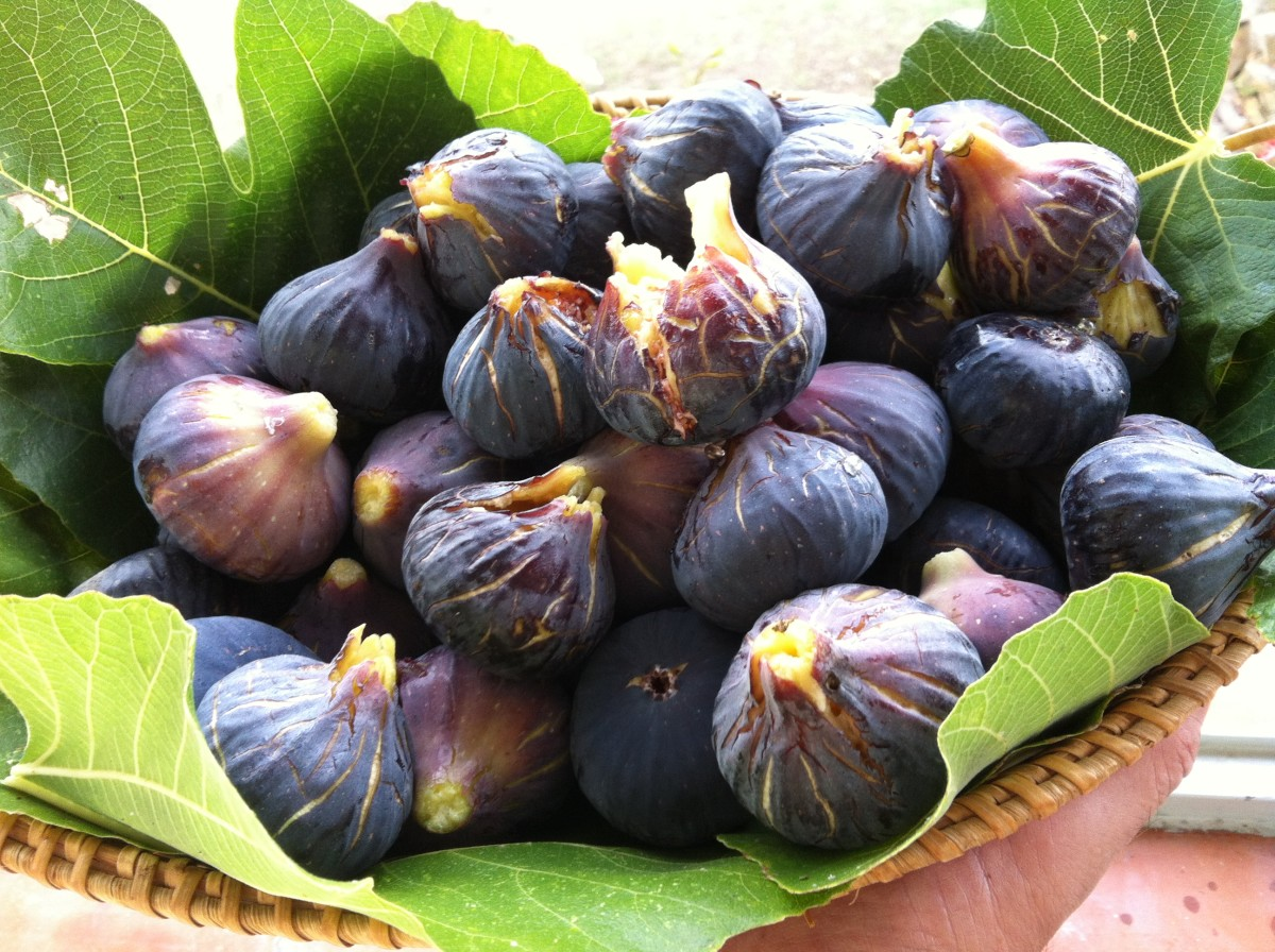 Fig fruit: figs straight off the tree.