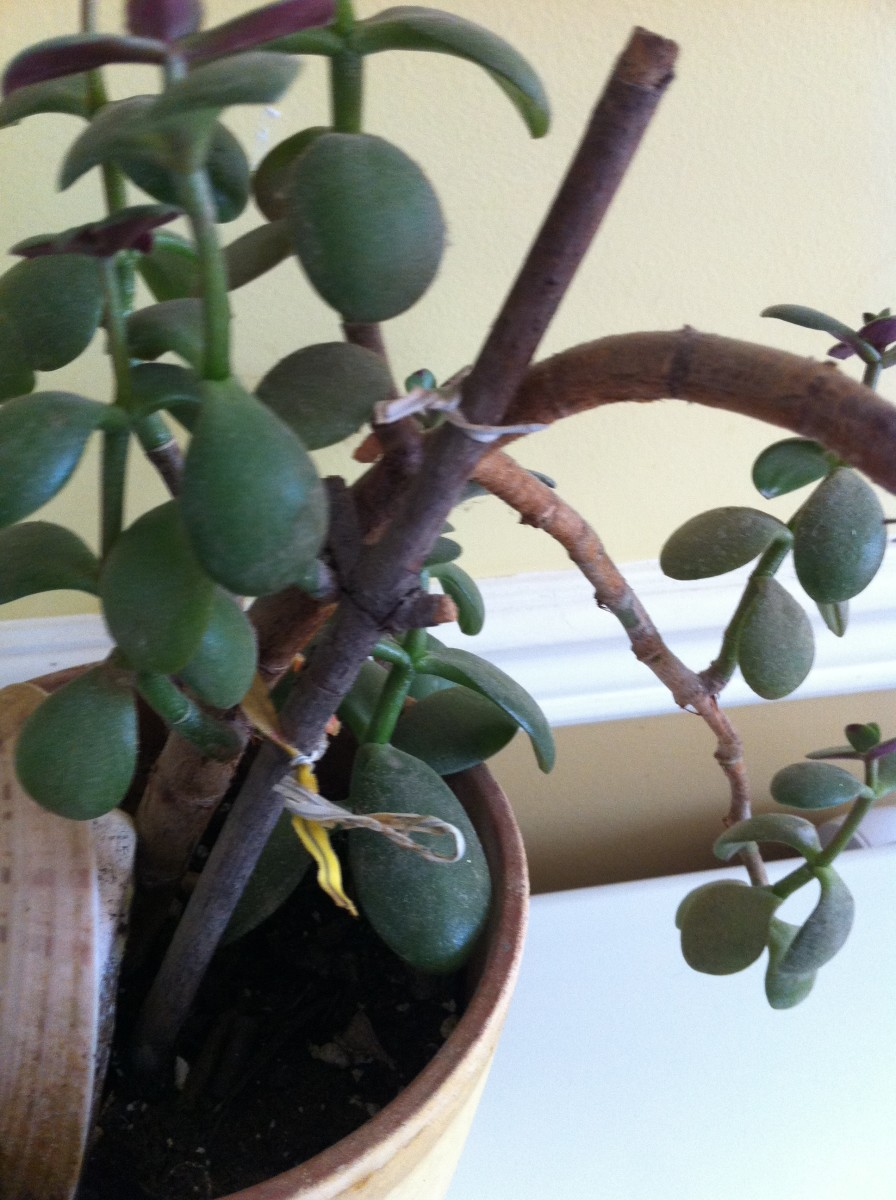 Twist ties are helping my jade plant to stand up along with the help of a stick.