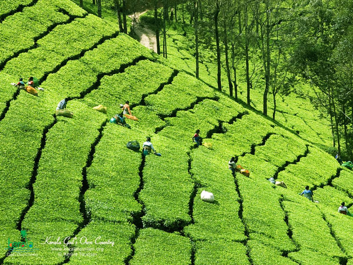 The Tea plantation on the hills
