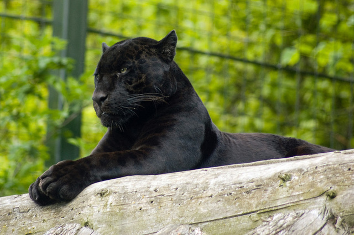This is a melanistic jaguar. Compared to the melanistic leopard shown in the photo above, you can tell this is a jaguar because of the large head.