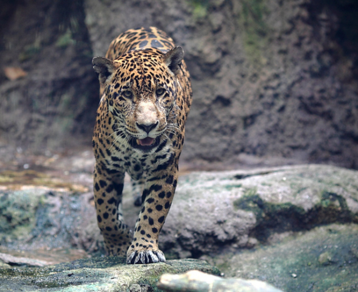 what-is-the-difference-between-leopards-panthers-pumas-jaguars-cheetahs