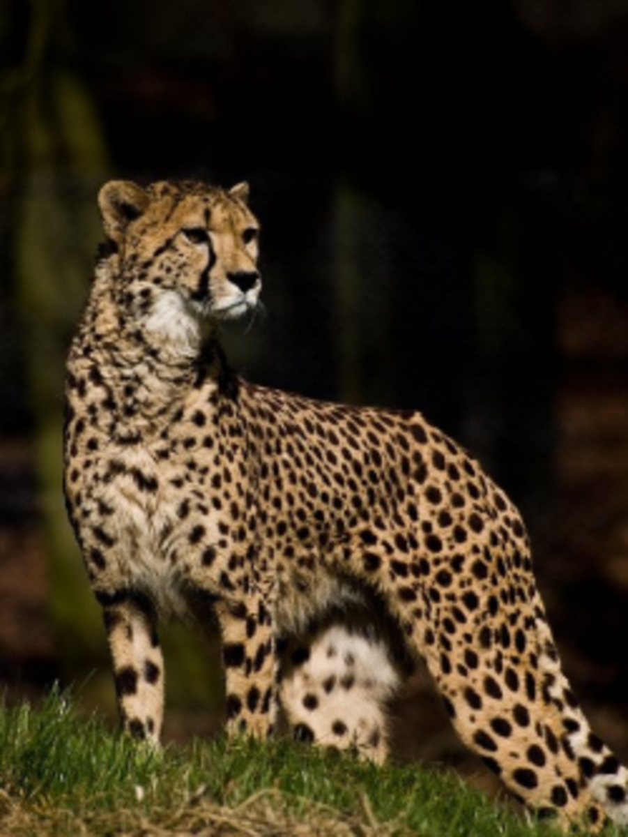 The Difference Between Leopards, Panthers, Pumas, Jaguars, and ...