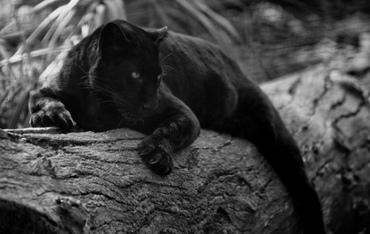 Melanistic leopard.
