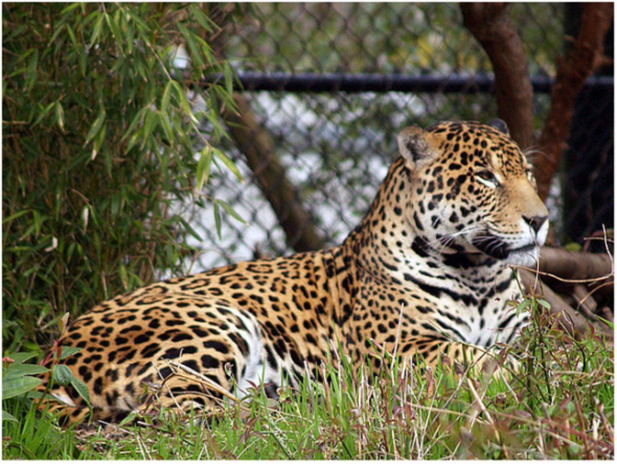 The Difference Between Leopards Panthers Pumas Jaguars