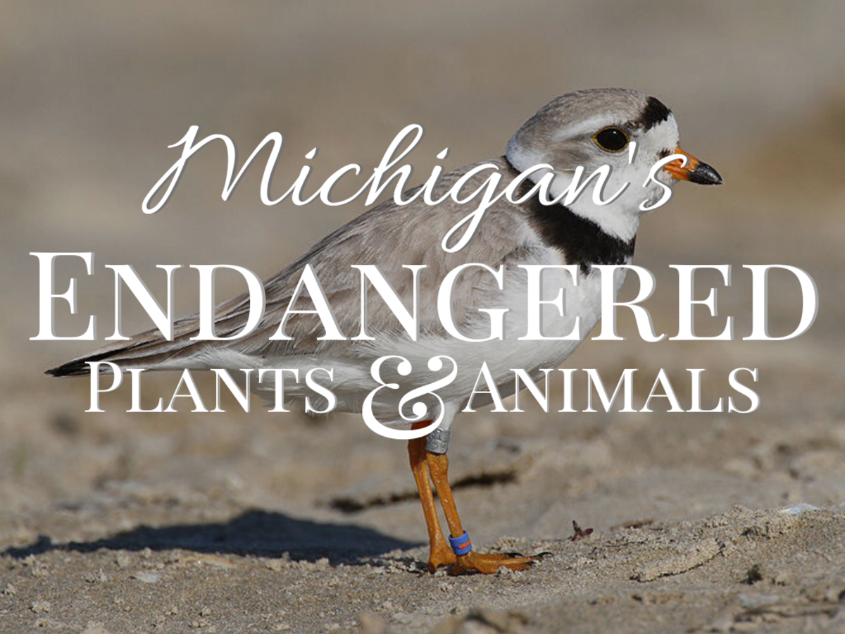 Piping plover (background) is one of Michigan's endangered species.