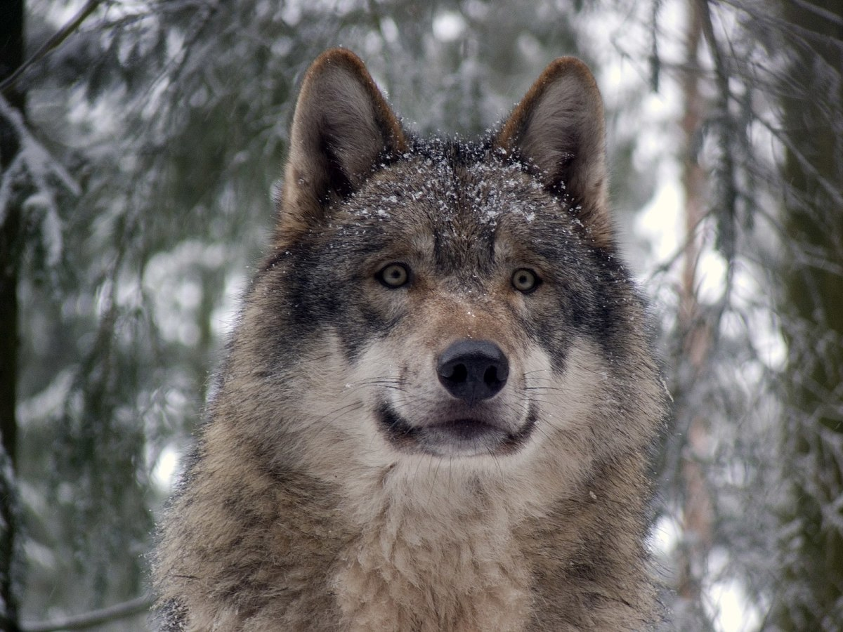 The gray wolf is one of Michigan's endangered species and calls the Upper Peninsula its home.