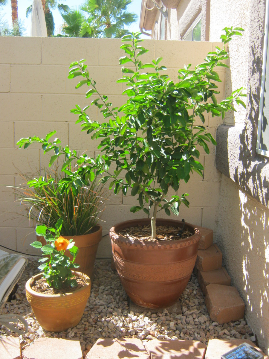 "Kind of like ""The little lime tree that could""... it made it through the first HOT Las Vegas summer!"
