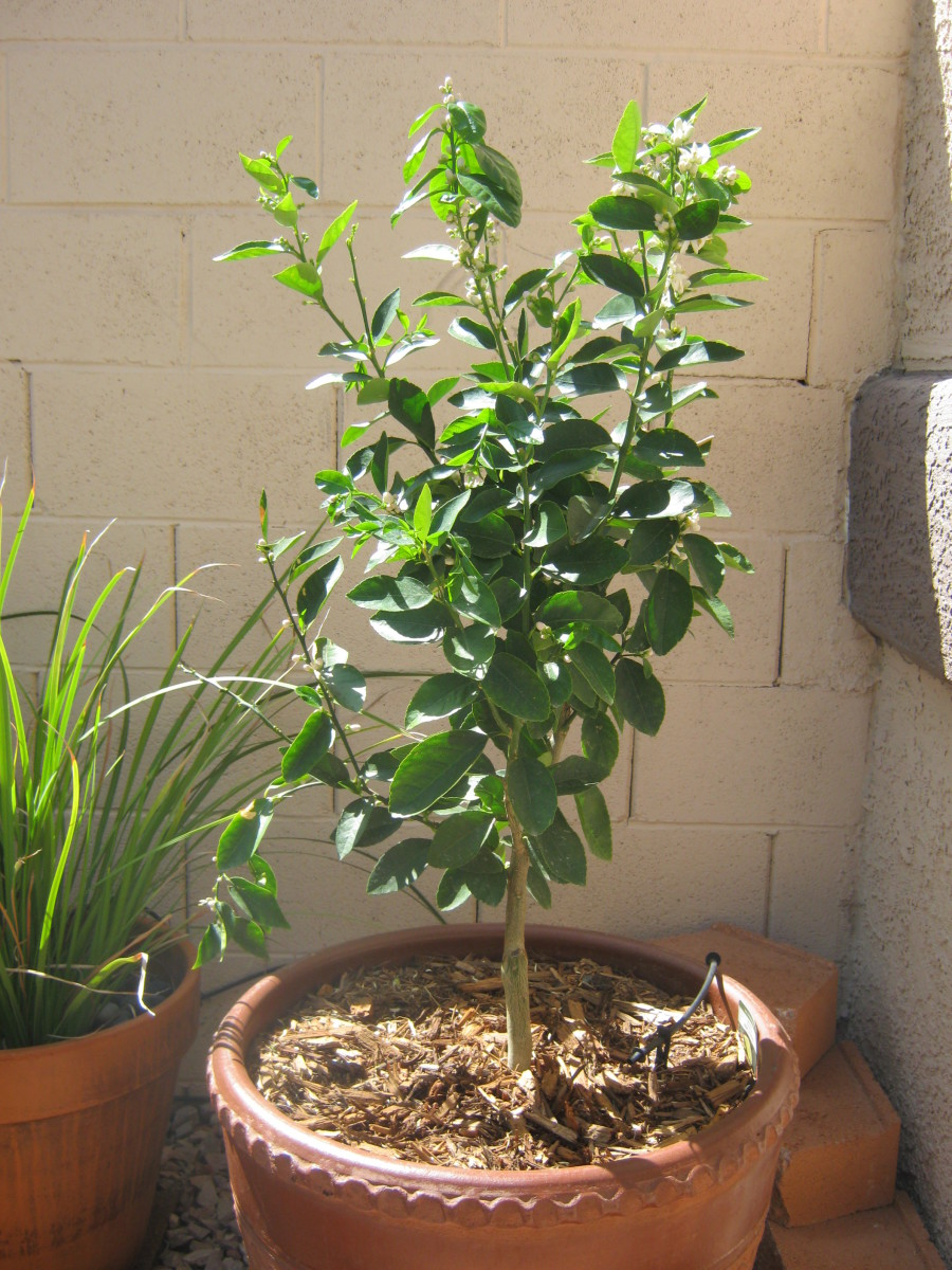 Growing A Bearss Lime Tree