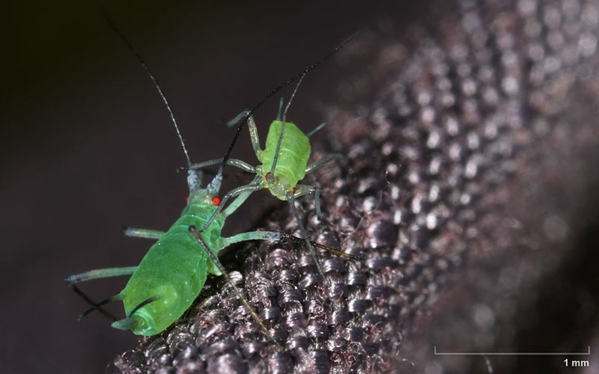 Aphids - just looking at these creeps me out for some reason, maybe it is because this picture is so close up.