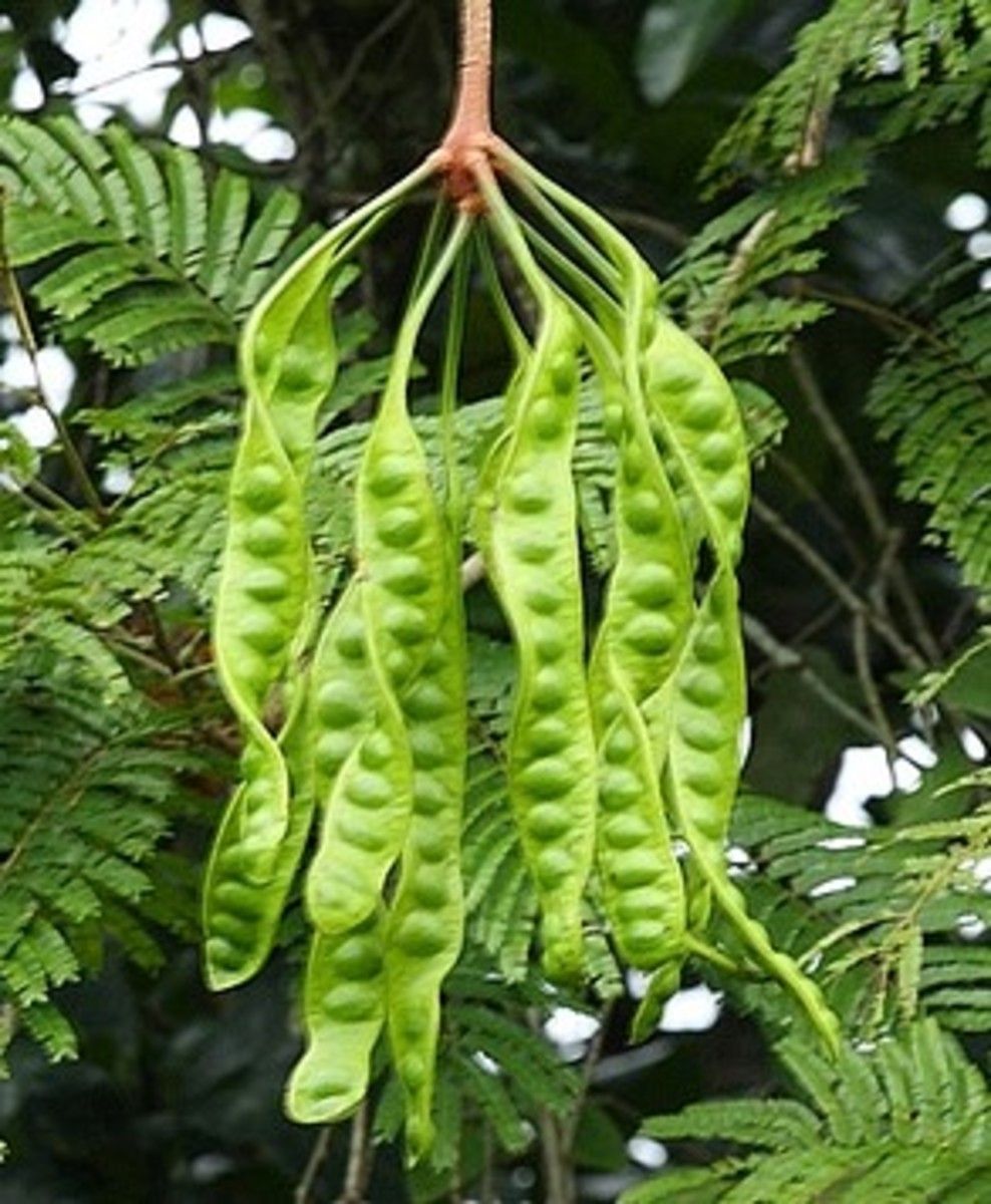 Petai contains a lot of amino acids.