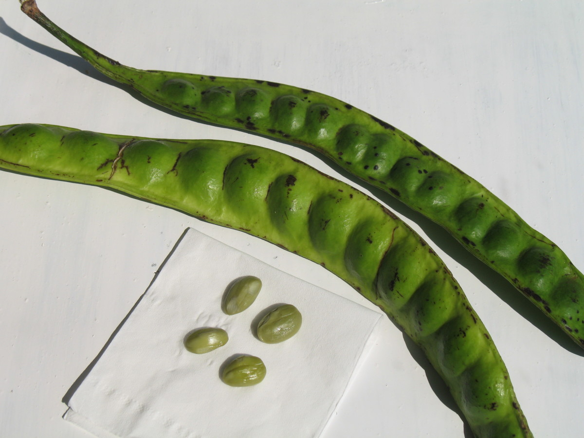 Petai, the edible healthy broad beans.