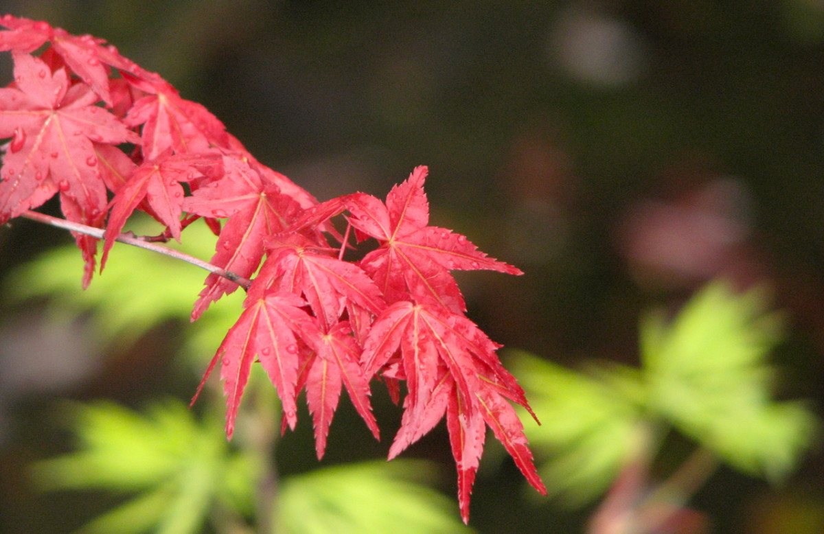 The red maple leaves stand out against ones that are still green, and a darker background. Tasmania, Australia.