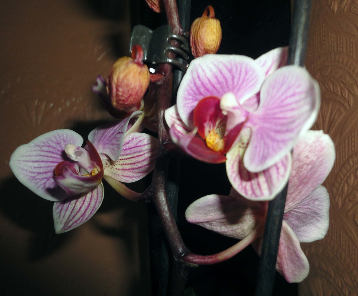 The Orchid in Flower