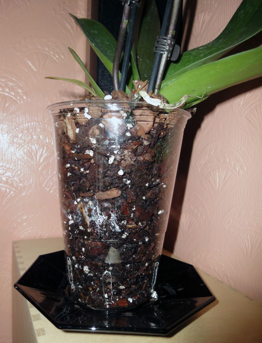 The Orchid in the new clear plastic pot