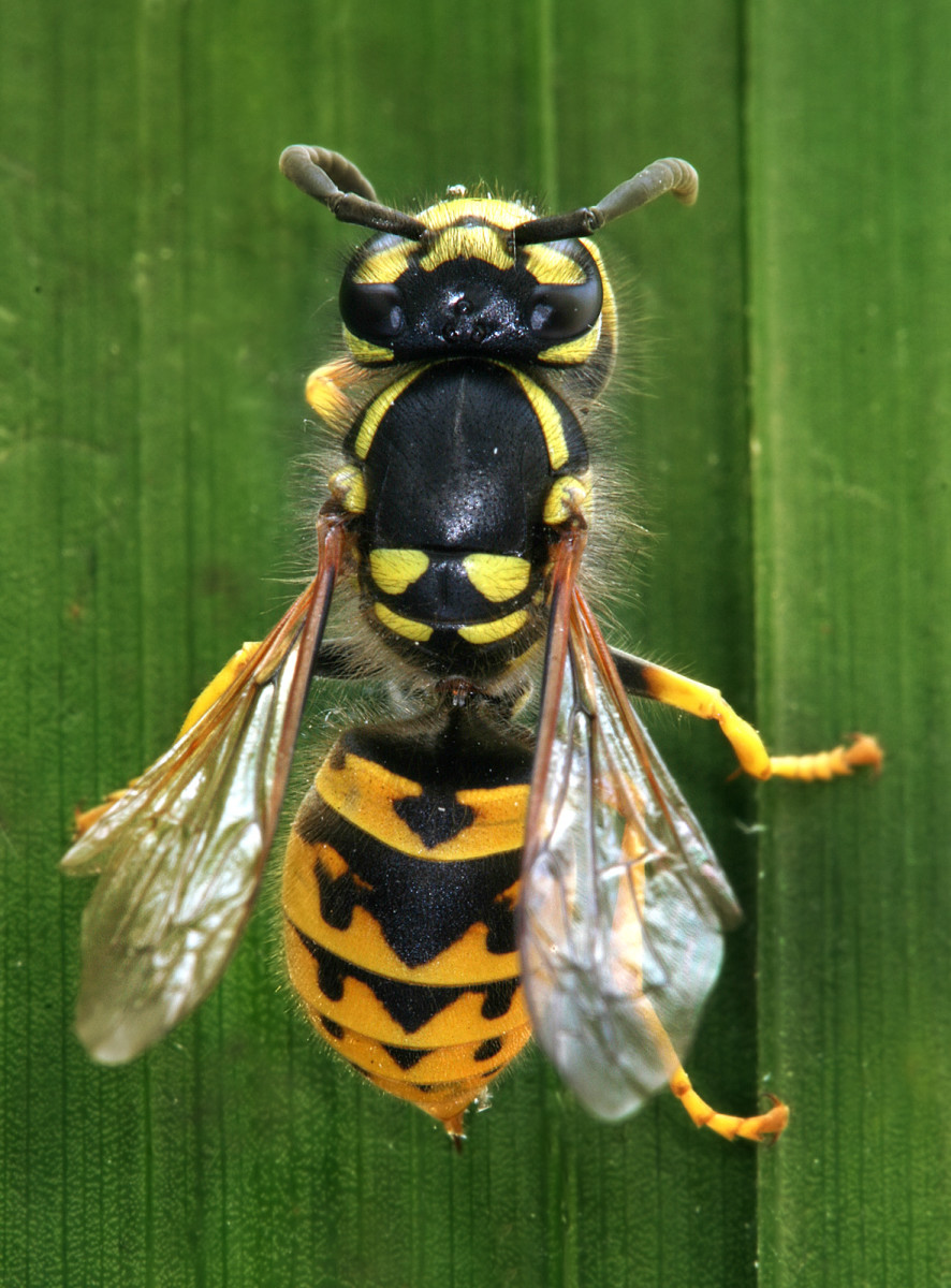 Full body photo of a Yellow Jack Wasp
