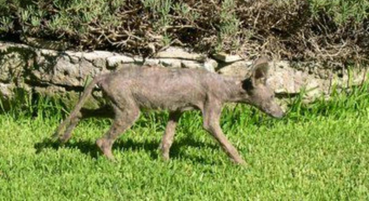 This picture was taken by a Park Service Ranger and is one of many available photos of a chupacabra.