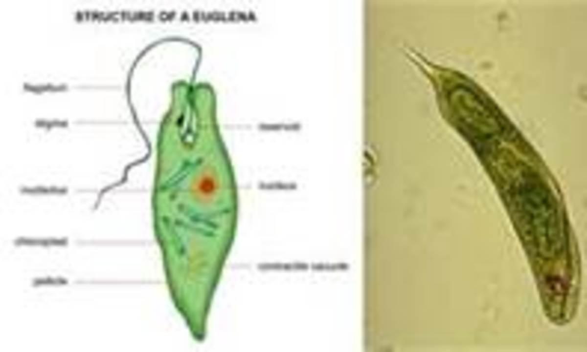 Euglenia sangernia found in Benthic Zone