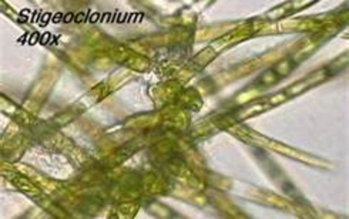 Stigeoclonum lubricum found in Littoral region
