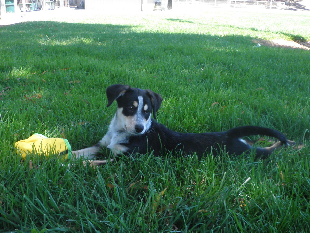 Indy the smooth coat tri-color border collie at 3 months old/