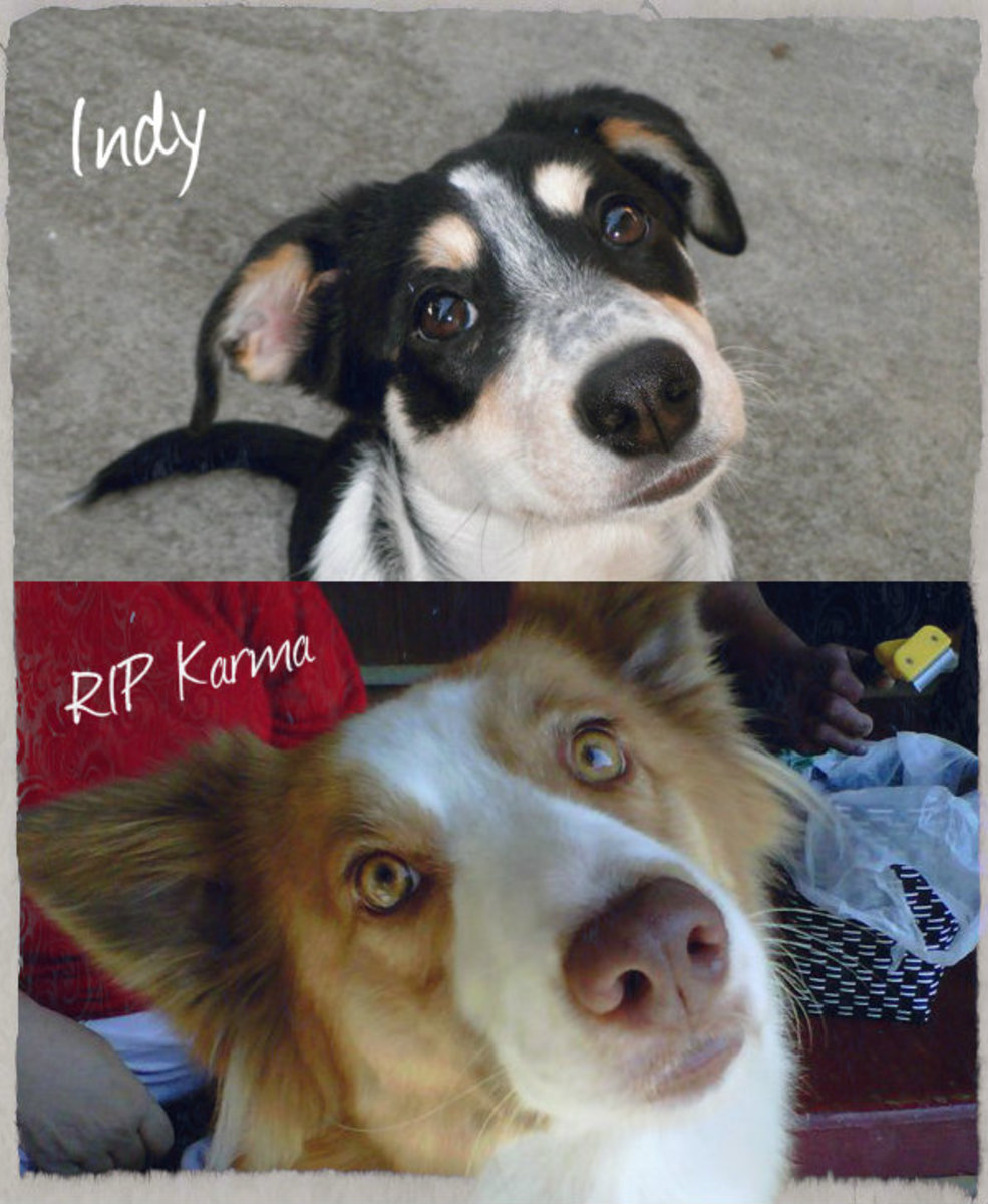 "My Karma and my Indy. So alike yet so different. As you can see Karma had ling hair and was a ""rough coat"" border collie. Indy's hair is much smoother and she is considered a ""smooth coat"" border collie. RIP Karma baby."
