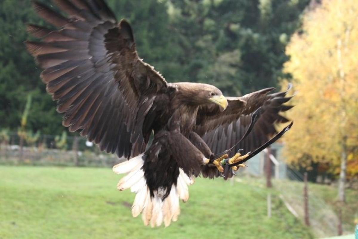 Birds of Prey Centre - watch a handsome white tailed eagle home in on his handler with a morsel of fresh meat