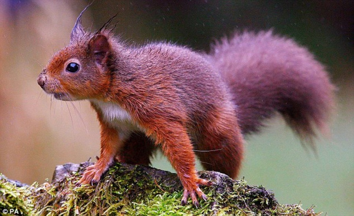 Red squirrel in the Kielder Forest - few natural habitats left for red squirrels in mainland Britain, this is one, others are in North Lancashire, Cumbria and further north (aside from the Isle of Wight - grey squirrels haven't mastered swimming)
