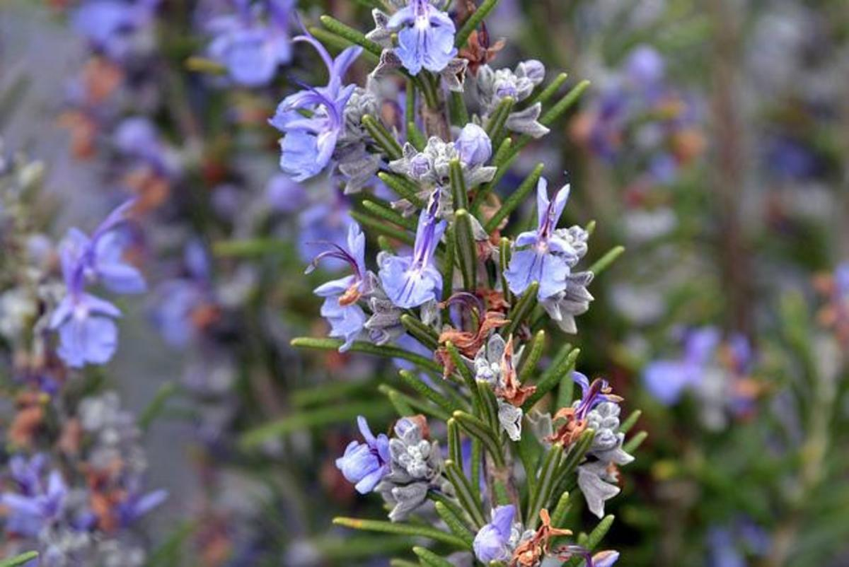 what-are-the-health-benefits-of-rosemary