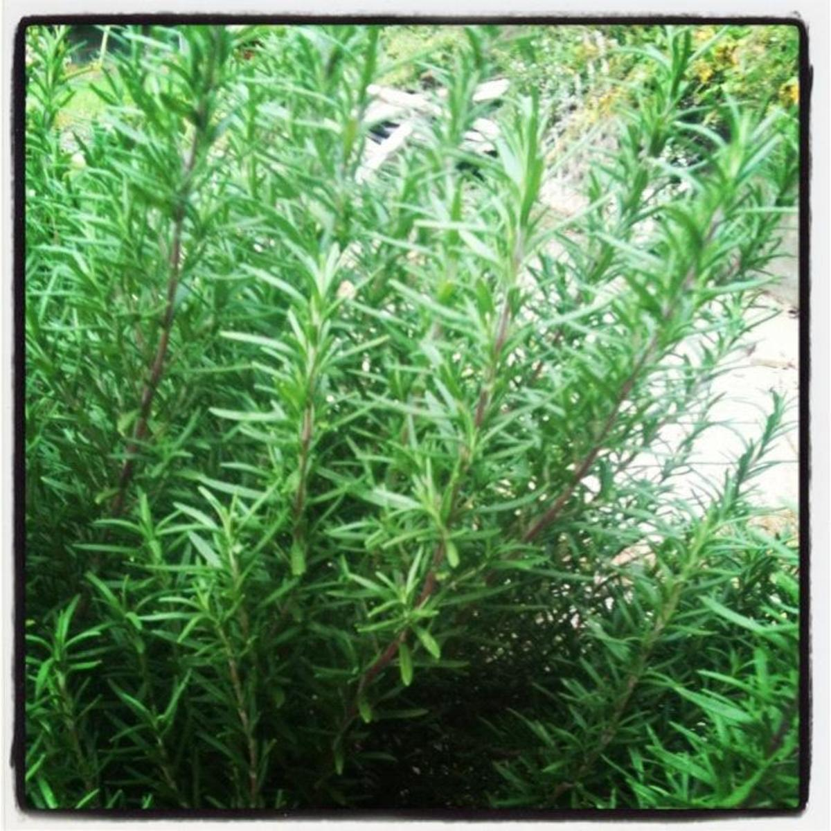 A healthy rosemary plant in my summer garden.