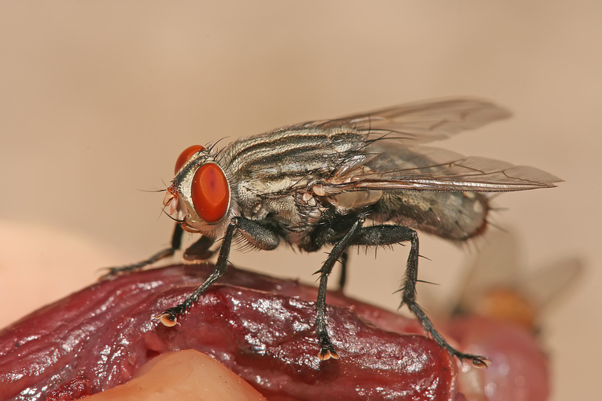 : A flesh fly, probably Sarcophaga nodosa feeding on decaying flesh.
