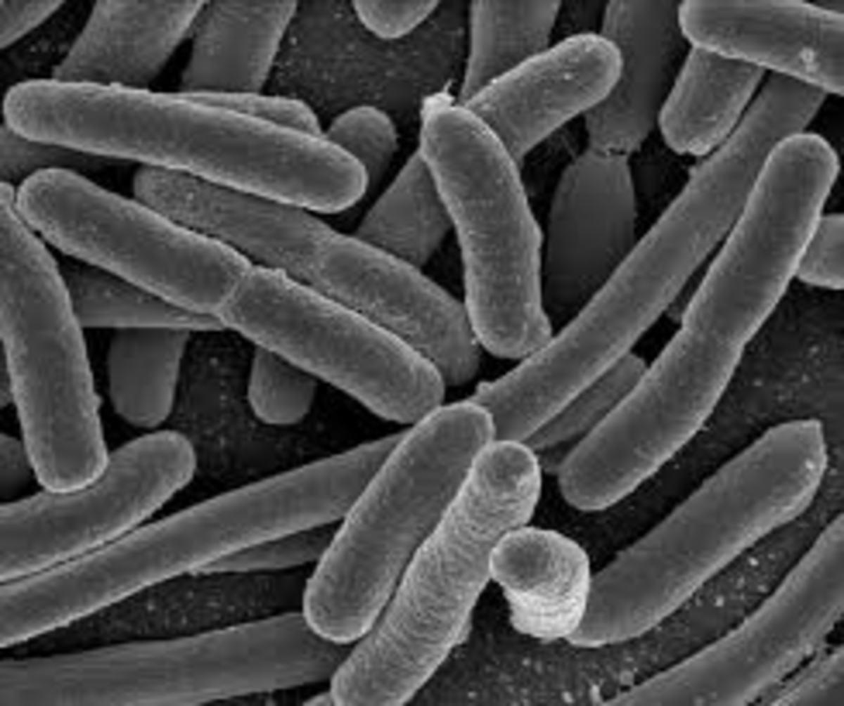 Anthrax Bacillus