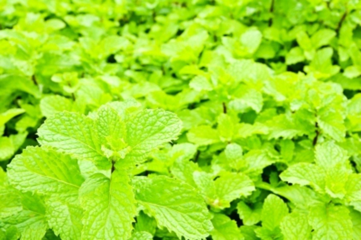 fresh mint leaves are packed with goodness and add a distinctive mint flavour to water.